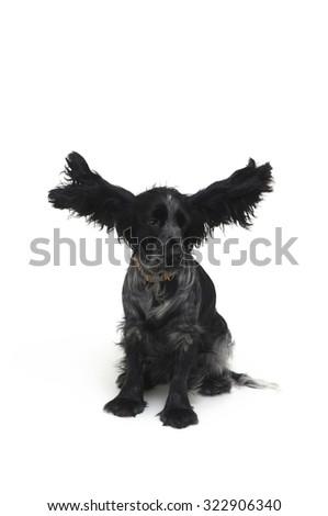 dog Cocker, - stock photo