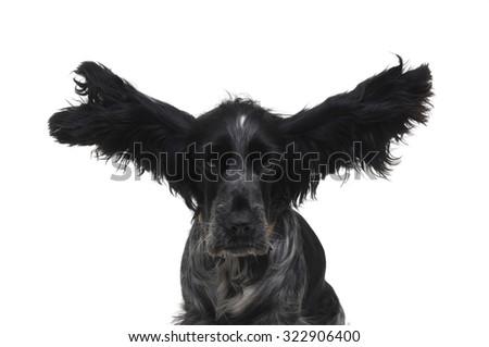 dog Cocker - stock photo