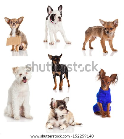 Dog collection isolated on white background.  small dogs.  - stock photo