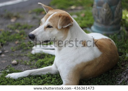 Dog color white sugar