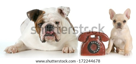 dog communication - english and french bulldog with telephone between them isolated on white background - stock photo