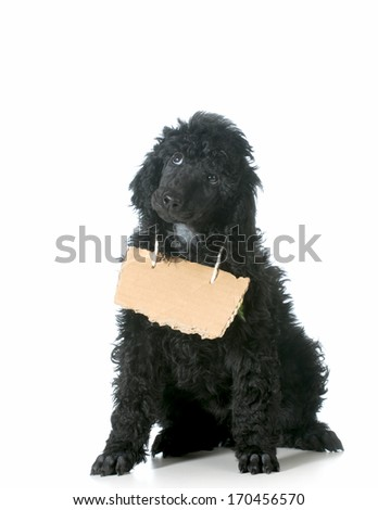 dog communication - standard poodle puppy with cardboard sign around neck isolated on white background - 8 weeks old - stock photo