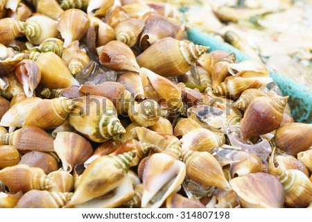 Dog Conch, Wing Shell or edible sea snail on seafood restaurant display ready to be cook for delicious dinner. Selective focus on centre of image - stock photo
