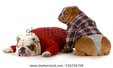 dog couple - english bulldog couple isolated on white background - stock photo