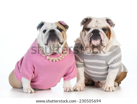dog couple - english bulldog male and female dressed in clothing sitting beside each other on white background  - stock photo