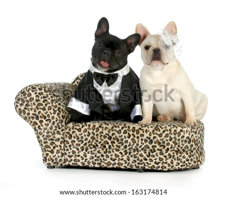 dog couple - french bulldogs dressed up like a man and woman isolated on white background - stock photo