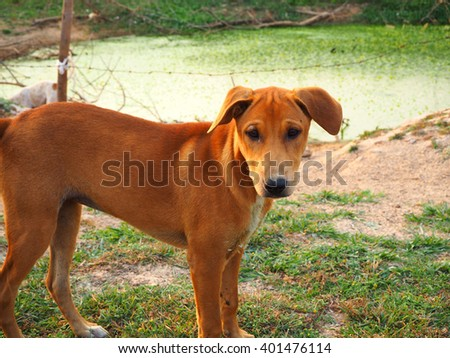 Dog.Cute funny puppy Thai. Brown dog