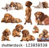 dog dachshund  in different poses - stock photo