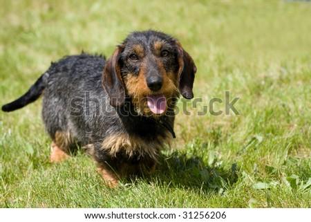 Dog dachshund on the green grass - stock photo
