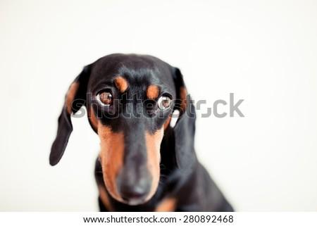 dog Dachshund on white background - stock photo