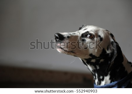 Dog dalmatian in jeans cravat. Portrait on a light background with free space for text or design