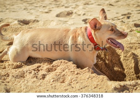 Dog digging a hole in the sand on summer holiday vacation. Beach background - stock photo