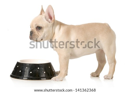 dog dinner time - french bulldog puppy standing at dog food bowl isolated on white background - stock photo