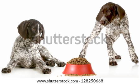 dog dinner time - german shorthaired pointers excited about being fed isolated on white background - stock photo