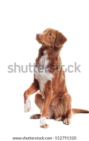 dog does a trick on a white background