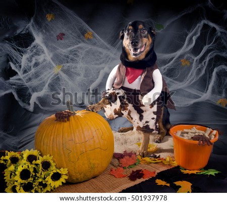 Dog dressed as a cowboy put one paw on a pumpkin. Visible hind legs
