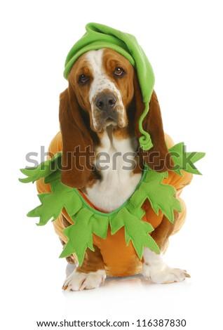 dog dressed up for halloween - basset hound wearing pumpkin costume sitting on white background - stock photo
