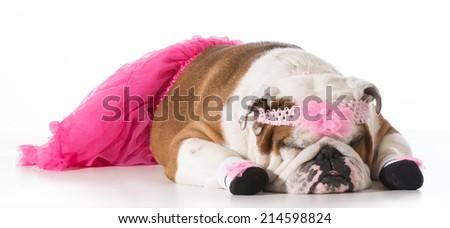 dog dressed up like a ballerina isolated on white background - english bulldog - stock photo