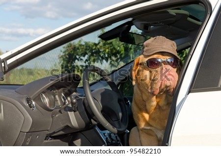 Dog driver with sunglasses and hat - stock photo
