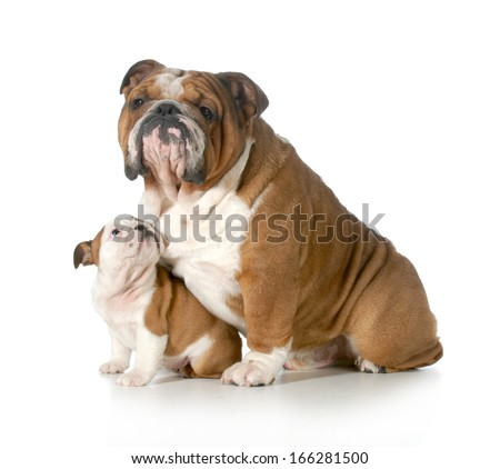 dog family - english bulldog father and daughter isolated on white background - puppy 8 weeks old - stock photo