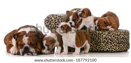 dog family - english bulldog father and five puppies isolated on white background - stock photo