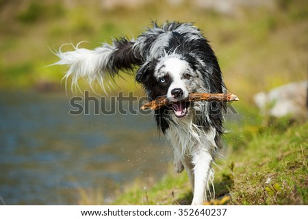 Dog fetches sticks
