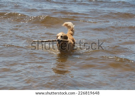 Dog finds a stick in the water and waits to decide to keep it or return it to shore - stock photo