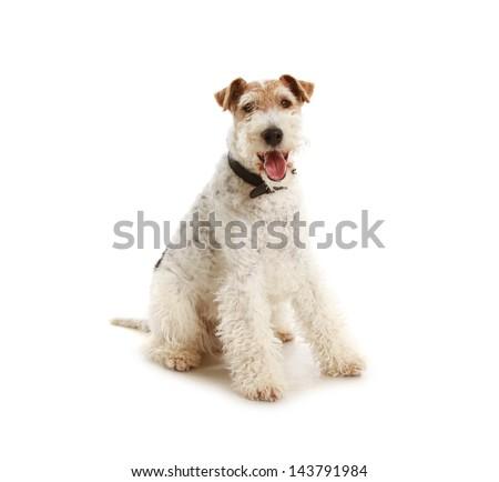Dog (Fox terrier) sitting on white background - stock photo