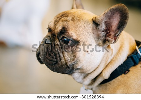 Dog French Bulldog Close Up Portrait - stock photo