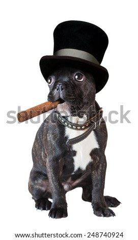 dog french bulldog sitting with a cigar on a white background