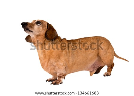 Dog Full Length Looking Up / Close Up/ Isolated On White