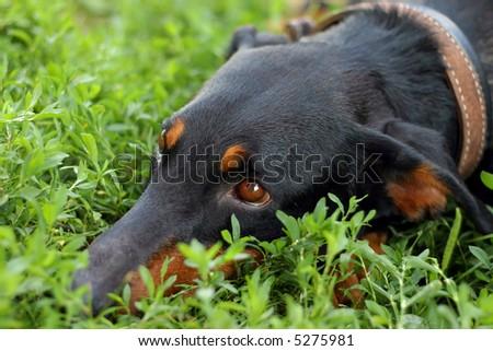 dog gaze - stock photo