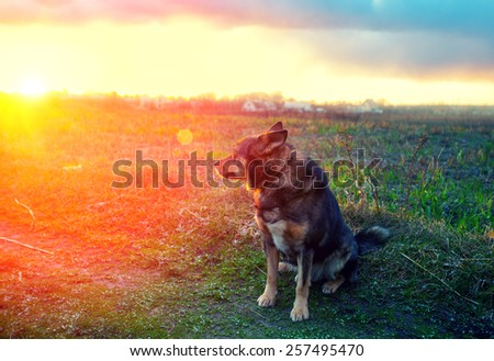 Dog gazing sunset in countryside - stock photo