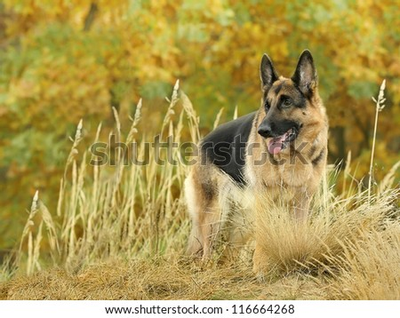 dog, German shepherd costs on a height, on the mountain in the autumn wood against beautiful yellow and green foliage - stock photo
