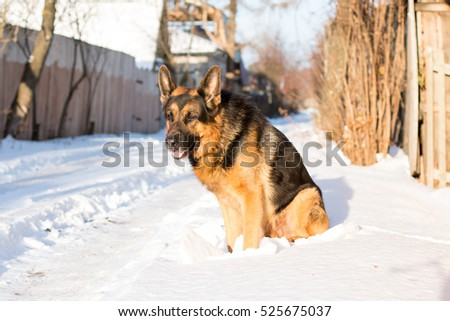 Dog german shepherd in a village in a winter day