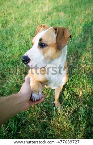 Dog giving paw from human point of view outdoors on green lawn.