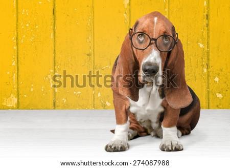 Dog, Glasses, Humor. - stock photo