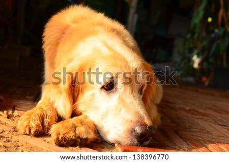 Dog golden age. - stock photo