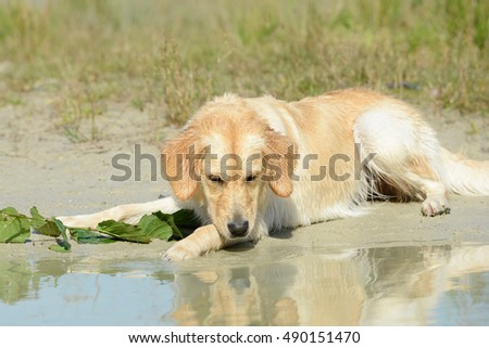 dog golden retriever lying and looking in the lake
