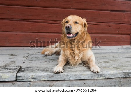 Dog (Golden retriever male) lying on wooden deck, red timber wall as background.  - stock photo