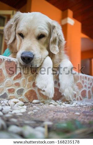 Dog  golden retriever outdoor - stock photo