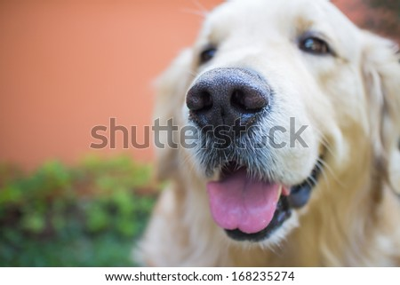 Dog  golden retriever outdoor - stock photo