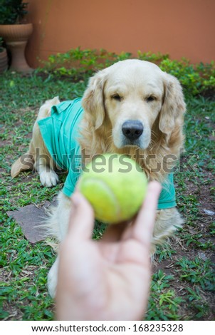 Dog  golden retriever outdoor