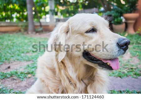 Dog golden retriever outdoor happy