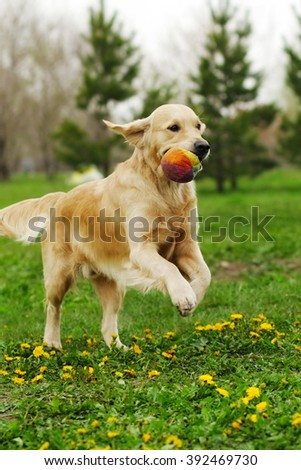 dog Golden Retriever playing in the Park in the summer, running holding the ball in his teeth