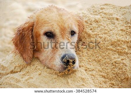 Dog, Golden retriever playing on the beach - stock photo