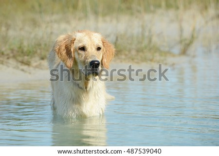 dog golden retriever standing in the lake and looking