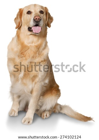 Dog, golden, white.