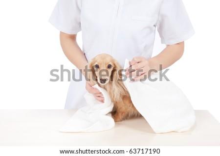Dog groomer wipe dachshund - stock photo