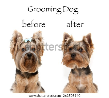 Dog grooming. Before, after. Little beautiful dog breed Yorkshire terrier on a white background. Portrait of a dog york terrier. Dog emotions displayed in the portrait. Close up. - stock photo
